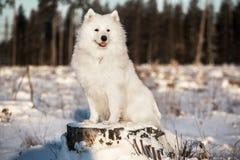 Perro del samoyedo que se sienta Imagen de archivo libre de regalías