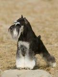 Perro del Schnauzer Fotografía de archivo