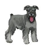 Perro del Schnauzer con su lengüeta que cuelga hacia fuera Imagen de archivo