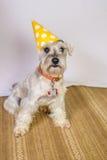 Perro del Schnauzer con un sombrero del cumpleaños Foto de archivo