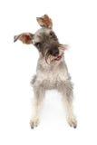Perro del Schnauzer miniatura que inclina la pista Imágenes de archivo libres de regalías