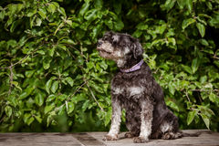 Perro del schnauzer miniatura que se sienta al aire libre Imagen de archivo libre de regalías