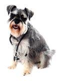 Perro del Schnauzer que presenta con el estetoscopio imagen de archivo libre de regalías