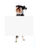 Perro del Schnauzer que sostiene el anuncio en blanco de la bandera imagen de archivo