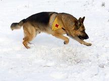 Perro del servicio de rescate de la montaña en la Cruz Roja búlgara durante un trai imágenes de archivo libres de regalías