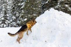 Perro del servicio de rescate de la montaña en la Cruz Roja búlgara durante un trai Foto de archivo libre de regalías
