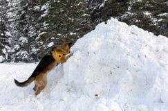 Perro del servicio de rescate de la montaña en la Cruz Roja búlgara durante un trai Fotos de archivo libres de regalías