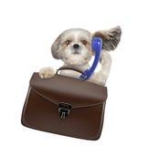 Perro del shitzu del hombre de negocios del oficinista con la maleta o bolso aislado en blanco fotos de archivo
