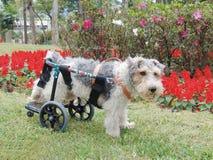 Perro del sillón de ruedas Foto de archivo libre de regalías