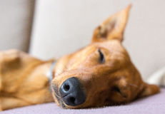 Perro del sueño imagenes de archivo