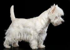 Perro del terrier blanco de montaña del oeste en fondo negro Fotografía de archivo libre de regalías