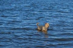 Perro del terrier de Airedale que juega en el agua en un lago imagenes de archivo