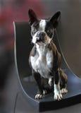 Perro del terrier de Boston Imágenes de archivo libres de regalías