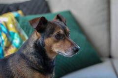 Perro del terrier de Brown Gato Russel foto de archivo
