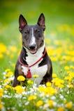 Perro del terrier de Bull que presenta en un campo de flor Imágenes de archivo libres de regalías