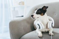 Perro del terrier de Jack Russell con los auriculares imagen de archivo libre de regalías