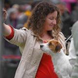 Perro del terrier de Jack Russell en una exposición canina fotos de archivo libres de regalías