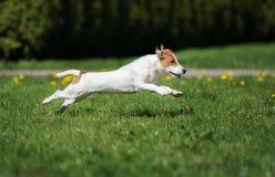 Perro del terrier de Jack Russell que corre al aire libre imagen de archivo libre de regalías
