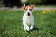 Perro del terrier de Jack Russell que corre al aire libre fotografía de archivo