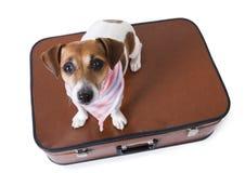 Perro del terrier de Russell del enchufe que viaja Imagenes de archivo