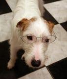 Perro del terrier de russell del gato de los párrocos con los vidrios Imagen de archivo
