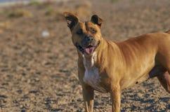 Perro del terrier de Staffordshire americano Fotografía de archivo