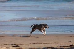 Perro del terrier de Staffordshire americano fotografía de archivo libre de regalías