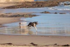Perro del terrier de Staffordshire americano fotos de archivo libres de regalías