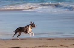 Perro del terrier de Staffordshire americano foto de archivo