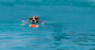 Perro del terrier de Staffordshire americano foto de archivo libre de regalías