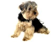 Perro del terrier de Yorkshire Fotografía de archivo