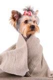 Perro del terrier de Yorkshire Fotos de archivo