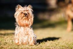 Perro del terrier de Yorkshire Fotografía de archivo libre de regalías