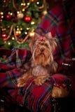Perro del terrier de Yorkshire, Año Nuevo, la Navidad Imágenes de archivo libres de regalías
