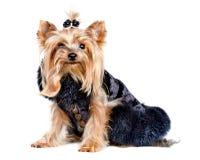 Perro del terrier de Yorkshire en ropa negra foto de archivo libre de regalías