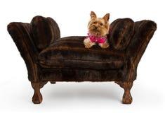 Perro del terrier de Yorkshire en una cama de lujo de la piel Imagen de archivo