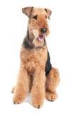 Perro del terrier del Airedale   imagenes de archivo