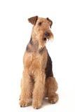 Perro del terrier del Airedale foto de archivo