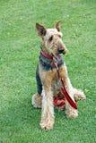 Perro del terrier del Airedale imágenes de archivo libres de regalías