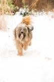 Perro del terrier tibetano que corre en la nieve Imagen de archivo libre de regalías