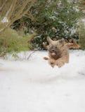 Perro del terrier tibetano que corre y que salta en la nieve Foto de archivo libre de regalías
