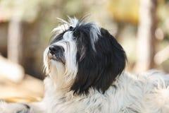 Perro del terrier tibetano que se acuesta y que mira para arriba hacia su dueño, cierre para arriba foto de archivo libre de regalías