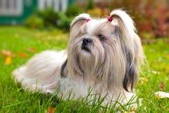 Perro del tzu de Shih Fotografía de archivo libre de regalías