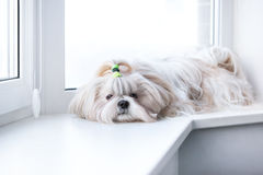 Perro del tzu de Shih Foto de archivo libre de regalías