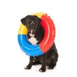 Perro del verano con el juguete de la natación imágenes de archivo libres de regalías