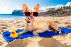 Perro del verano de la chihuahua Imagenes de archivo