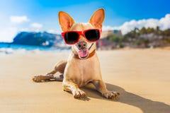 Perro del verano de la chihuahua Fotos de archivo