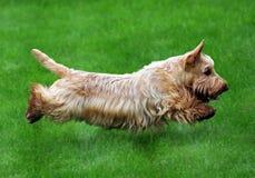 Perro del vuelo Foto de archivo libre de regalías