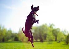 Perro del vuelo Fotos de archivo libres de regalías
