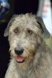 Perro del Wolfhound irlandés Foto de archivo libre de regalías